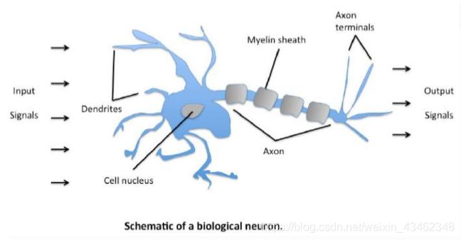 人体神经网络的构造