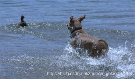 Dog Chasing Duck